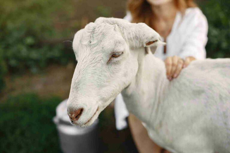 Les bénéfices du lait de chèvre pour la peau et l'intérêt d'utiliser un savon au lait de chèvre
